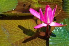 Nymphaea rubra. Is a species of water lily stock photo