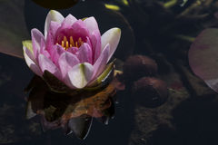 Nymphaea 'sig.ra Richmond' Waterlily fotografie stock