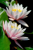 Nymphaea - Somptuosa Hardy Water Lily Stock Image