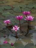 Nymphaea. In the South-East Asia stock photo