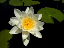 Nymphaea. Stock Photography
