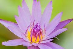 Nymphaea stellata Dzika, wodna leluja lub jesteśmy nadwodnym rośliną a obrazy stock