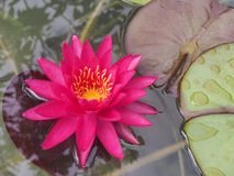 Nymphaea Tan Kwan Stock Photography