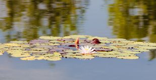 Nymphaea Tetragona Water Lily. Royalty Free Stock Images