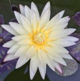 Nymphaea vatten Lilly, guld- camembert Royaltyfria Foton