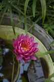 Nymphaea in water basket. Pink flower of Nymphaea in a water basket royalty free stock image