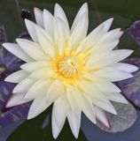 Nymphaea, Water Lilly, Golden Camembert Royalty Free Stock Photos