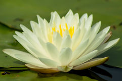Nymphaea Royalty Free Stock Image