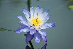 Nymphaea Royalty Free Stock Images