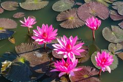 Nymphaeaceae beautiful pink water lily flower in the lake. Nymphaeaceae beautiful pink water lily flower in the garden lake. Lotus aquatic palnt Royalty Free Stock Images
