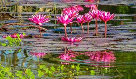 Nymphaeaceae beautiful pink water lily flower in the lake. Nymphaeaceae beautiful pink water lily flower in the garden lake. Lotus aquatic palnt Stock Photo