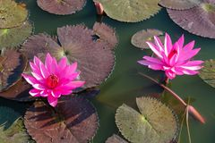 Nymphaeaceae beautiful pink water lily flower in the lake. Nymphaeaceae beautiful pink water lily flower in the garden lake. Lotus aquatic palnt Royalty Free Stock Photo