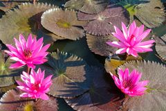 Nymphaeaceae beautiful pink water lily flower in the lake. Nymphaeaceae beautiful pink water lily flower in the garden lake. Lotus aquatic palnt Stock Images