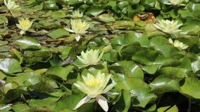 Nymphaeaceae blanco en aguas reservadas metrajes