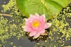 Nymphaeaceae de Waterlily Photographie stock libre de droits