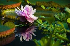 Nymphaeaceae del lirio de agua Foto de archivo