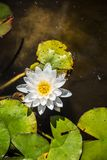 Water Lilies. Nymphaeaceae is a family of flowering plants, commonly called water lilies. They live as rhizomatous aquatic herbs in temperate and tropical Royalty Free Stock Photo