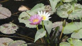 Nymphaeaceae o Lotus Foto de archivo libre de regalías