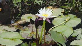 Nymphaeaceae o Lotus Fotos de archivo libres de regalías