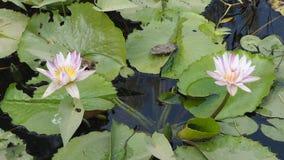 Nymphaeaceae o Lotus Imágenes de archivo libres de regalías