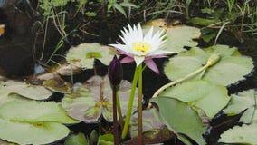 Nymphaeaceae ou Lotus Photos libres de droits