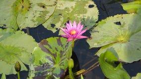 Nymphaeaceae ou Lotus Photos stock