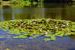 Nymphaeaceae ou waterlily Image stock