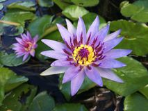 Nymphaeaceae, Water Lily Blossoming in Kilauea op het Eiland van Kauai, Hawaï stock afbeeldingen