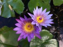 Nymphaeaceae, Water Lily Blossoming in Kilauea op het Eiland van Kauai, Hawaï royalty-vrije stock foto's