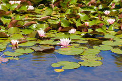 Nymphaeaceae or waterlily Royalty Free Stock Images