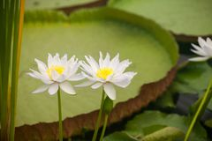 Nymphaeaodorata, det Waterlily huset, kungliga personen KEW arbeta i trädgården Fotografering för Bildbyråer