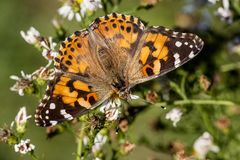 Nymphaldae Familie des roten Admirals Butterfly Stockbild