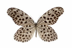 Nymphalid butterfly isolated Stock Images