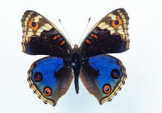 Nymphalid butterfly Royalty Free Stock Photography