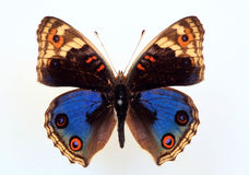 Nymphalid butterfly Stock Images
