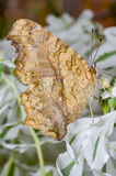 Nymphalid motyl Zdjęcie Stock