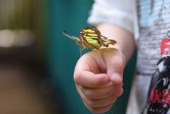 Nymphalidae ή πληρωμένη ο Μπους πεταλούδα Στοκ Εικόνα