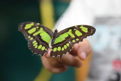 Nymphalidae ή πληρωμένη ο Μπους πεταλούδα Στοκ εικόνες με δικαίωμα ελεύθερης χρήσης