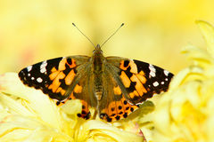 Nymphalidae royalty free stock images
