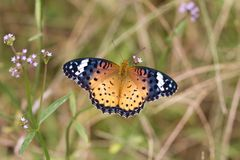Nymphalidae. This is a photo I took of the butterfly by chance one day Stock Photo