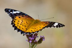 Nymphalidae. This is a photo I took of the butterfly by chance one day Stock Images