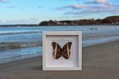 Nymphalidae Obraz Royalty Free