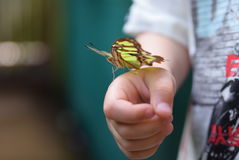 Nymphalidae or Bush footed Butterfly Stock Image