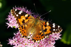 Nymphalidae butterfly Royalty Free Stock Photos
