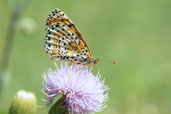 Nymphalidae butterfly Royalty Free Stock Photography