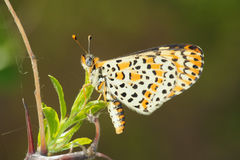Nymphalidae butterfly Royalty Free Stock Image