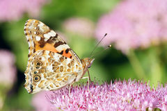 Nymphalidae butterfly. The close-up of Nymphalidae butterfly. Scientific name: Vanessa cardui Stock Image