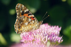 Nymphalidae butterfly. The close-up of Nymphalidae butterfly. Scientific name: Vanessa cardui Royalty Free Stock Images