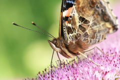 Nymphalidae butterfly. The close-up of Nymphalidae butterfly. Scientific name: Vanessa indica Stock Image