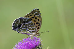 Nymphalidae butterfly Stock Photos